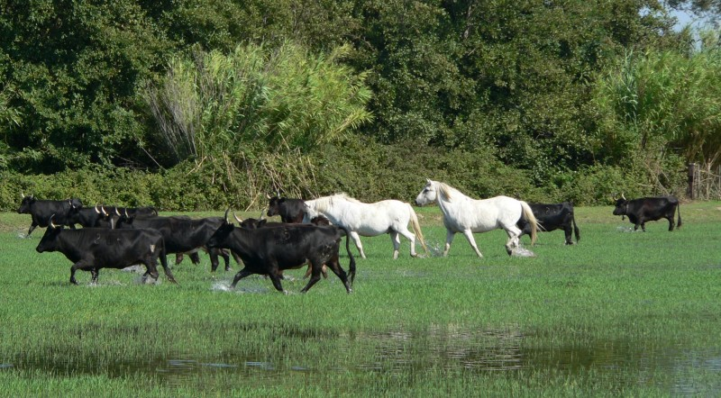 camargue horse riding